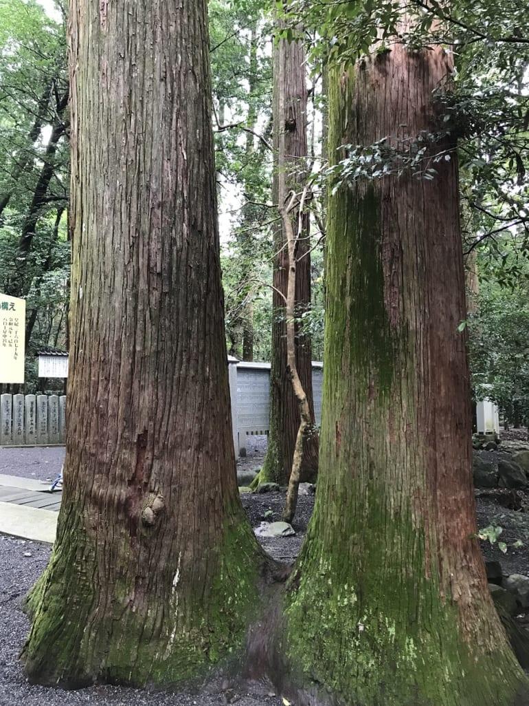 椿大神社のご神木