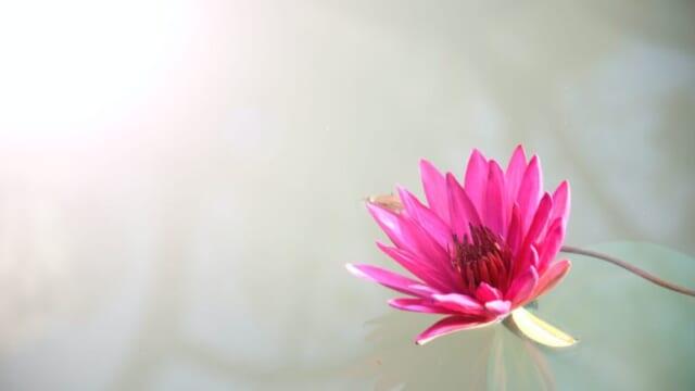 venus-lotus